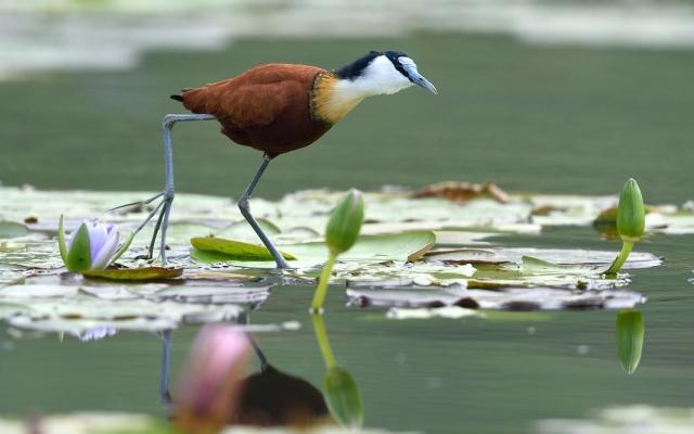 Portrait du Jacana, l'oiseau qui marche sur l'eau.