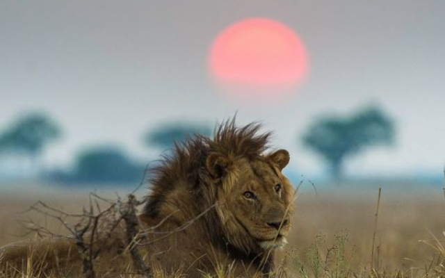 Lion des plaines de Busanga dans le parc de Kafue en Zambie