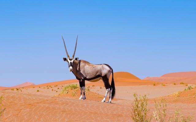 Safari Namibie - Un oryx dans le désert du Namib