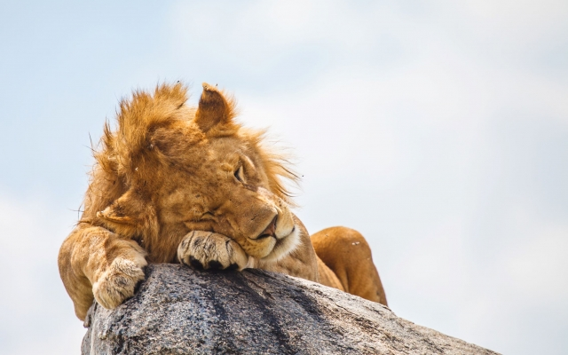 Roi Lion Kenya