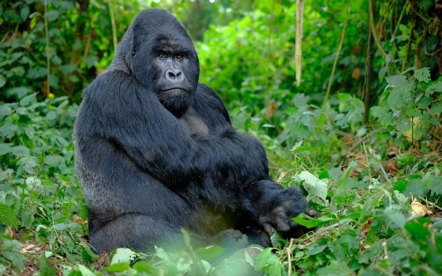 Gorille afrique Rwanda