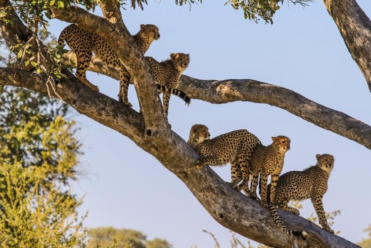 Safari au parc de Hwange : 5 guépards dans un arbre !