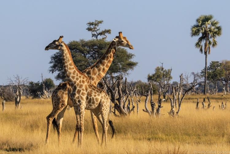 Girafes dans les plaines de Ngamo au parc de Hwange