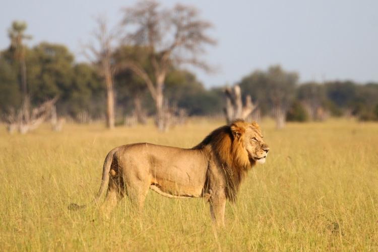 Un lion dans le parc national de Hwange