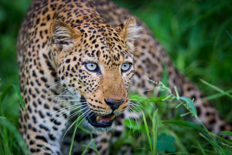 Safaris en Zambie, Voyage en Zambie, Léopard South Luangwa