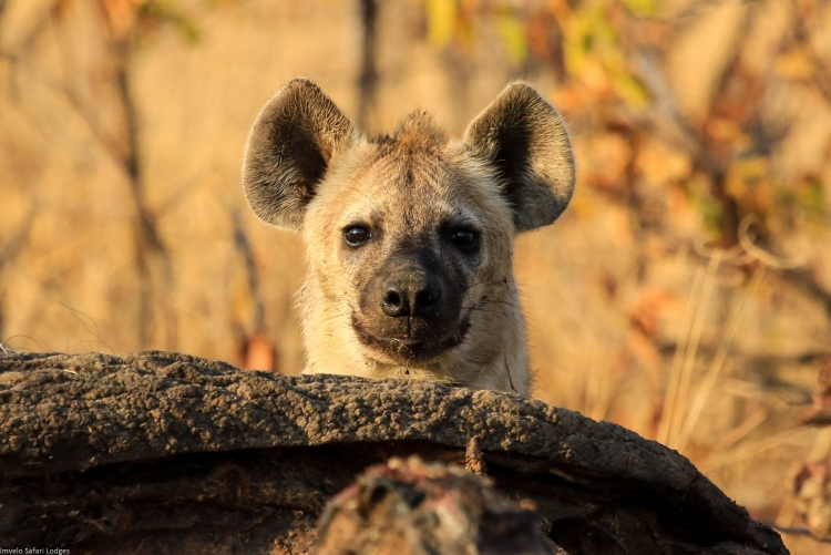 Une jeune hyène en safari à Hwange