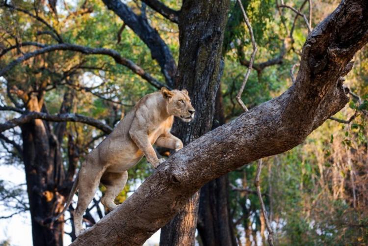 Les lions, très nombreux en Zambie (photo Normann Carr)