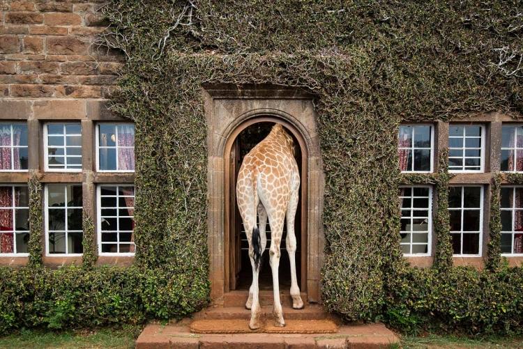 Terminez votre safari au pays du Roi Lion par un séjour à Girafe Manor