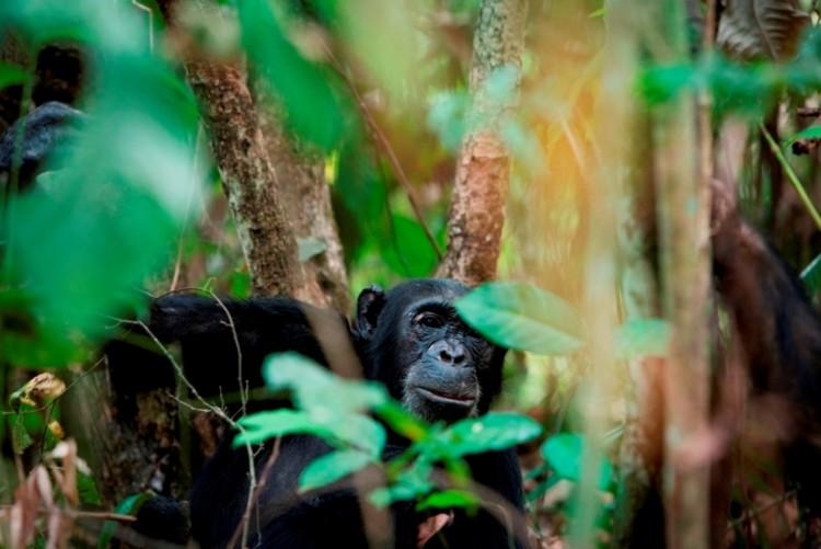 Chimpanzé de Mahale Mountain - Tanzanie