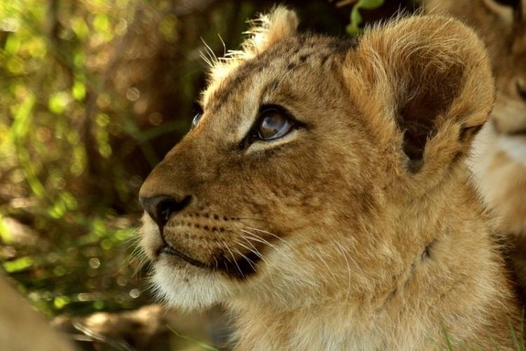 """Safari en Afrique : où retrouver le pays du """"Roi Lion"""" de Disney ?"""