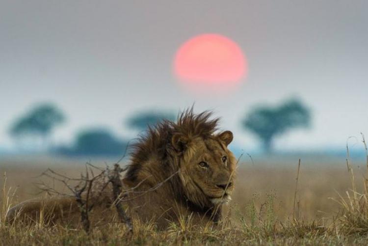 Safari Zambie