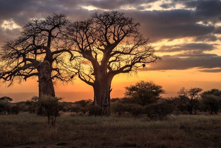 Baobabs du parc de Tarangire en safari en Tanzanie