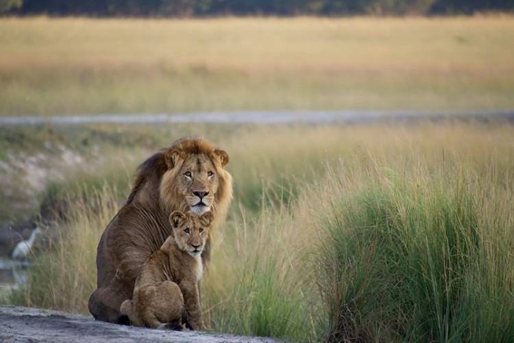 Lions du parc de Liuwa, à King Lewanika Lodge Voyage Zambie
