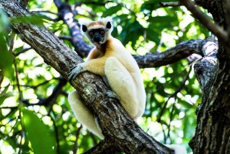 Les lémuriens de Madagascar font l'objet d'un projet de repeuplement à Nosy Ankoa