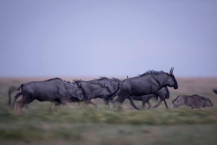 Migration des gnous à Liuwa en safari en Zambie. Un secret bien gardé.