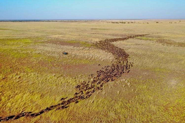 La migration des gnous à Liuwa Plains en Zambie, sans aucun touriste !
