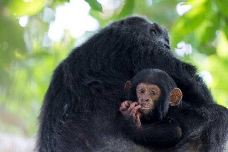 Chimpanzés de Greystoke Mahale Mountain en Tanzanie
