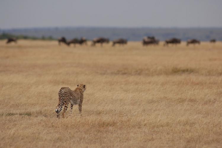 Guépard en chasse dans la région de Lamai Serengeti Camp