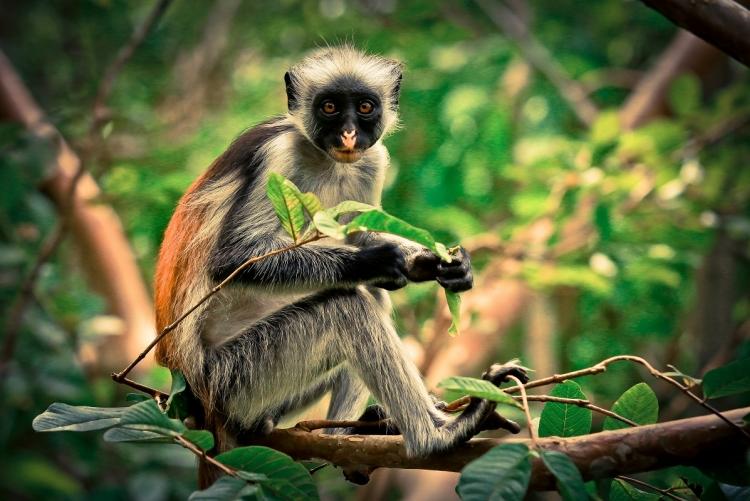 Zanzibar- Forêt de Jozani, singes à pelage rouge