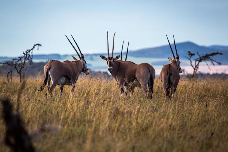 Oryx de la réserve de Borana Conservancy à Laikipia au Kenya