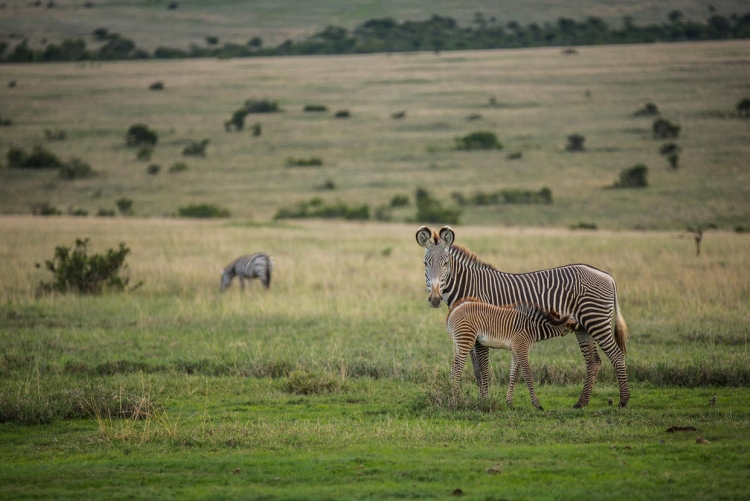 Zèbres de grevy de la réserve de Borana Conservancy à Laikipia au Kenya