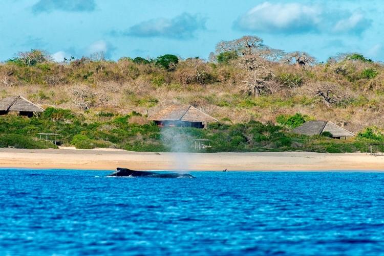 Les baleines présentes dans la baie de Nuarro au nord du Mozambique