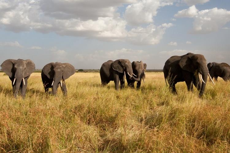 Eléphants du Serengeti (Tanzanie)