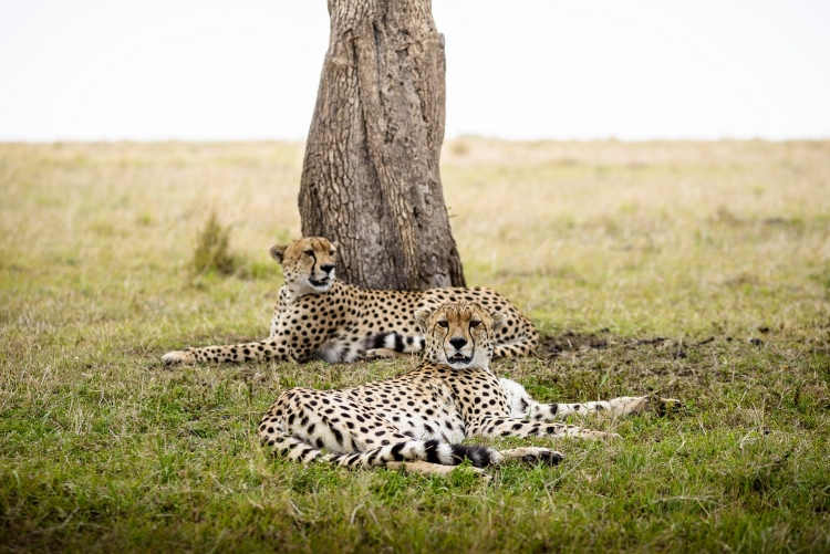 Guépards dans la réserve de Masaai Mara