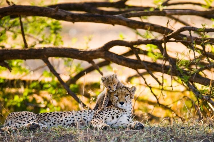 Guépards, hyènes, zèbres, gnous et Big Five en safari au Serengeti (Tanzanie)