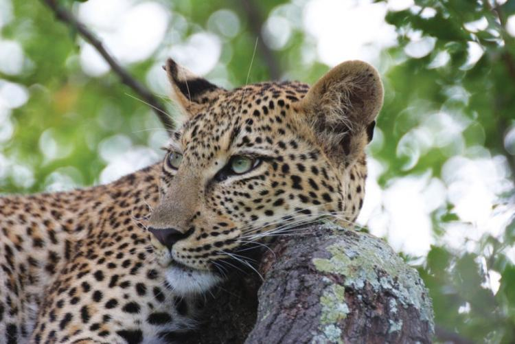 Un léopard à Marataba, en safari en Afrique du Sud