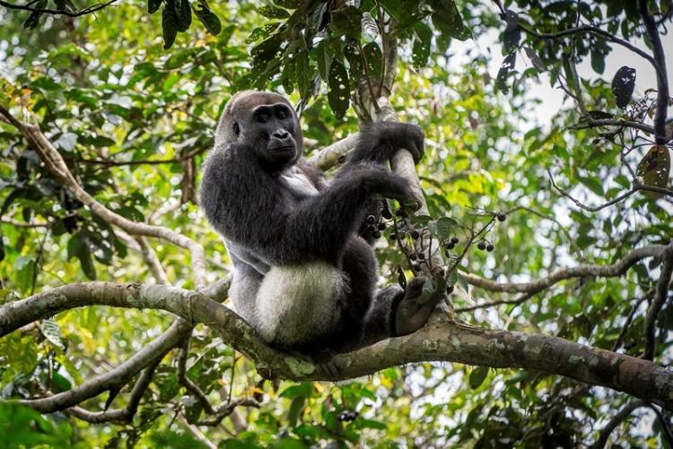 Gorille du parc d'Odzala au Congo Brazzaville