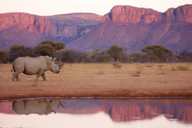 Un rhinocéros dans la concession privée de Marataba