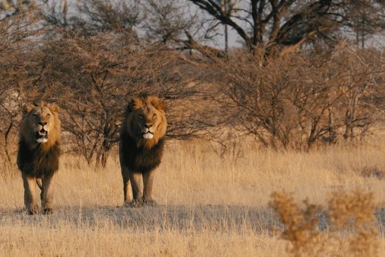 Lions à Chief's Island - Delta de l'Okavango - Safari Botswana