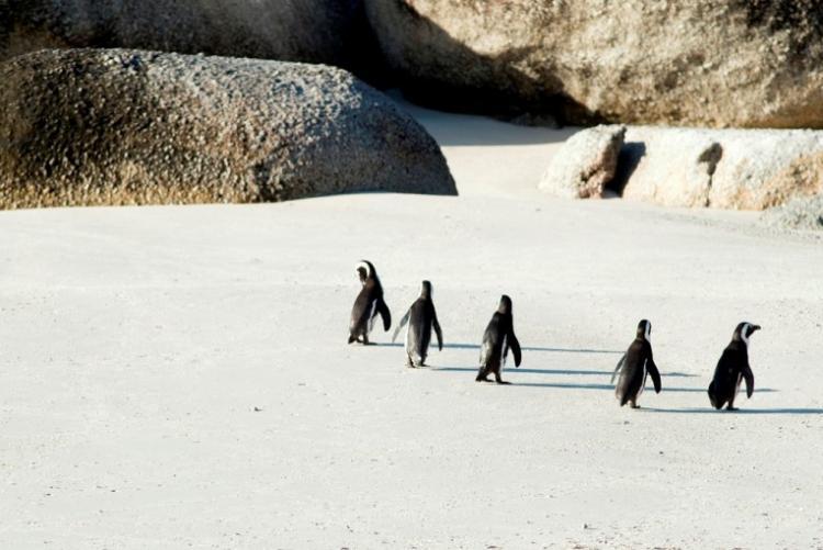 Manchots sur la plage de Boulders Beach - week end Capetown