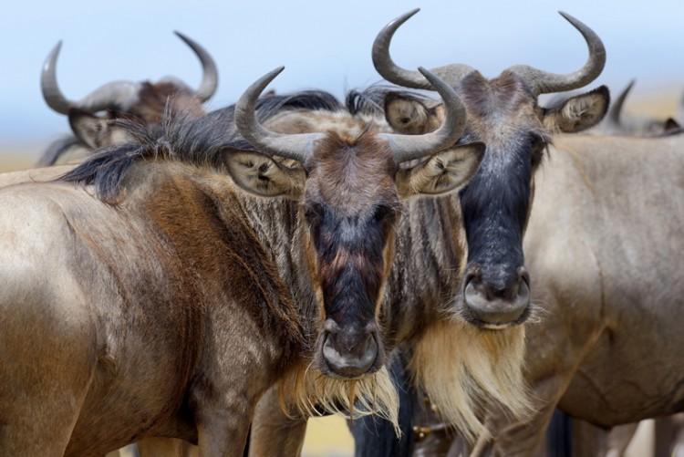 Migration des gnous au Serengeti en safari en Tanzanie