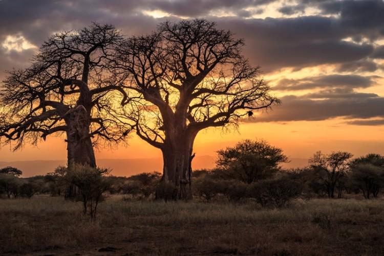 Coucher de soleil sur le parc de Tarangire et ses baobabs