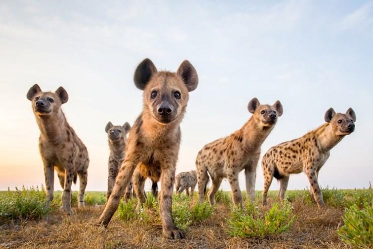 Hyènes tachetées en safari à Liuwa Plain en voyage en Zambie