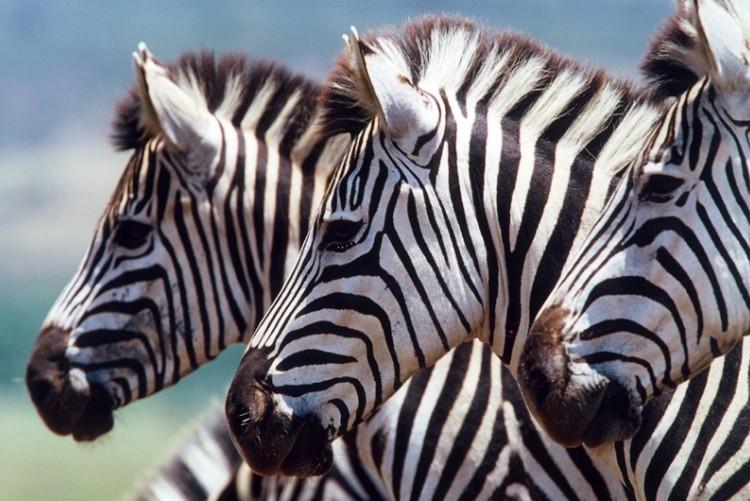 Les zèbres, compagnons des gnous dans la migration perpétuelle qui se joue au Serengeti