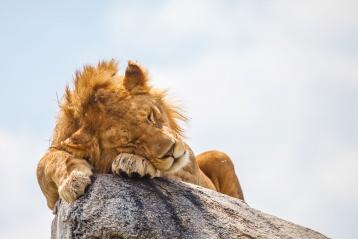 Vous voici au pays du Roi Lion ! Bienvenue au Kenya !