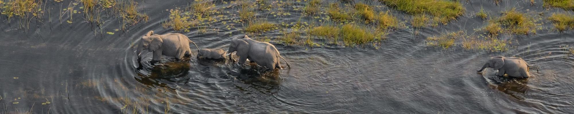 Safari au Botswana - Elephants survolés dans le Delta de l'Okavango