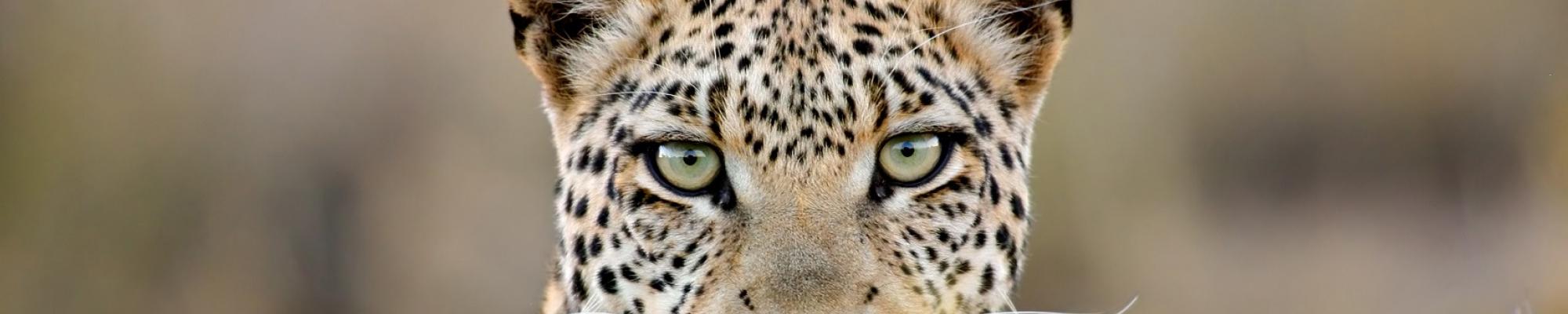 Safari Zambie, le pays des léopards  et des safaris à pied !