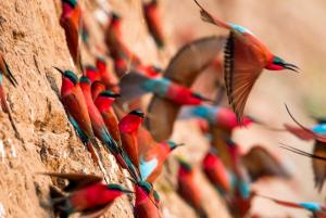 Les guêpiers carmins dans la South Luangwa en Zambie