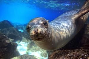 Le phoque méditerranéen vit dans les eaux d'Alonissos, ile grecque des Sporades